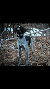 German wire haired pointer   pure breed