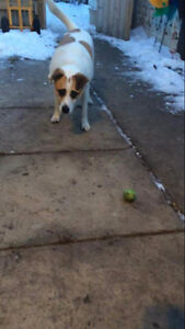 Lost dog Jack Russell cross