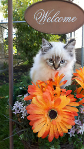 Beautiful Ragdoll Kittens Ready for their Forever Homes