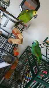 BLUE FRONTED AMAZON PARROT & CAGE