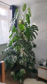 "235cms/7'8"" Large Variegated Monstera Deliciosa Borsigiana Plant"