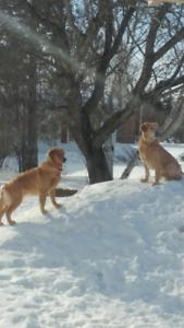Golden retriever x labrador golden retriever, chien
