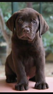 I'm looking for a lab puppy