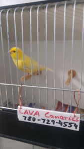 Yellow male canary for sale