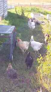 Euskal Oiloa Roosters-FREE!