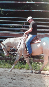 Registered Appaloosa Gelding Palomino with a blanket and a blaze