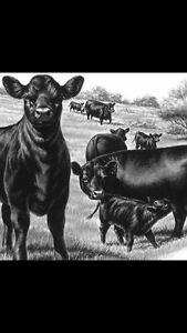 Purebred Angus Bulls