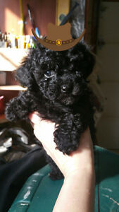 MIGNON CHIOTS CANICHE TINY TOY PUPPY POODLE