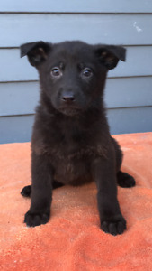 German Shepherd Puppies (black,black/tan,black /silver)^