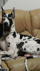 CKC Registered Great Dane Only 2 F/ 1 M Left Payment plan avail London Ontario image 2