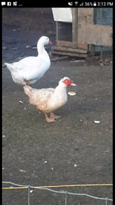 Looking for a drake white muscovy