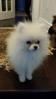 Adult Pomeranian For Sale Please contact for more info
