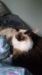Purebred Seal point Ragdoll for sale