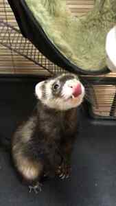 Cute ferret and cage and supply for sale