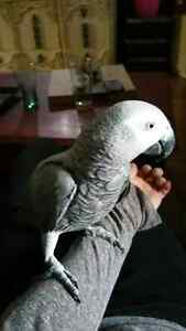 2year old male african grey parrot