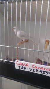Super singer silver colorbred canary for sale.guaranted to sing