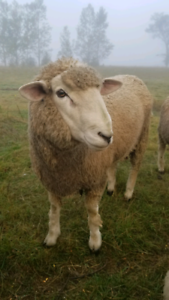 Corriedale yearling ram
