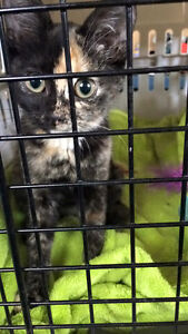 12 week old kitten free to a good home!