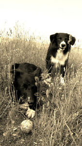 Brother & Sister Border Collies