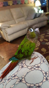 Hand tame Green Cheek conure with playtop cage!