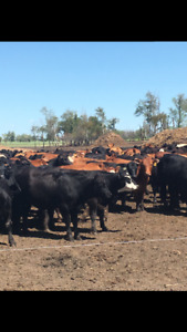 GOOD QUALITY BRED HEIFERS AND YOUNG COWS