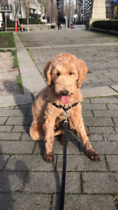 9 Month Old Goldendoodle Rehoming