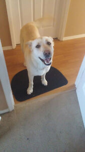 Paws for Love dog rescue has a 2 year old lab cross male