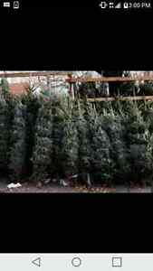 $35 fresh cut  premium Christmas trees going fast