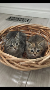 Beautiful short haired silver tabby kittens