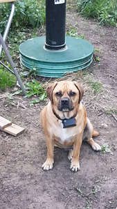 3.5 year old Trained Puggle needs forever home!