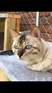 Snow Bengal cat to perfect home!❤️