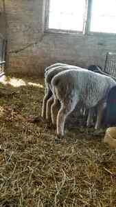Lambs forsale