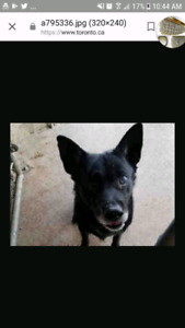 Found black dog near king and dowling