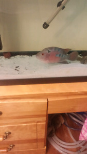 55 gallon tank, stand male red dragon flowerhorn$200