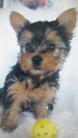 YORKSHIRE TERRIER PUPS $1500 TO $1800