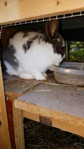 Male rabbits