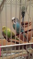 3 Parakeets with Cage, Toys, and Food