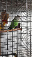 Brown Head Parrot
