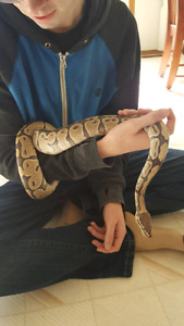 Rehoming my 5year old Ghost Ball Python