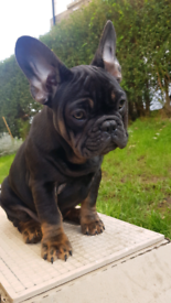 French Bulldog beautiful female kc reg
