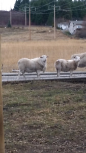 1 yr old proven ram and 4 pregnant ewes