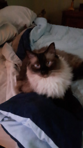 RAGDOLL MALE ADULT CAT - NEEDS GOOD HOME