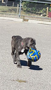 CANE CORSO / ITALIAN MASTIFF PUPPY - ONLY 1 MALE AVAILABLE!