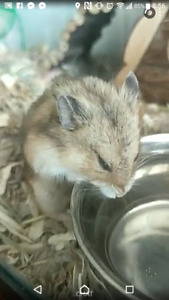 Young Russian Hamster looking for a new home