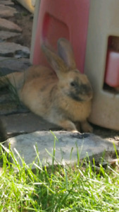 Free rabbit to a loving home