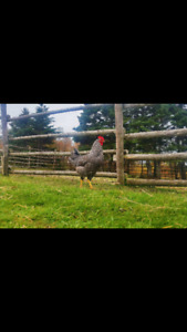 FREE PUREBRED ROOSTERS