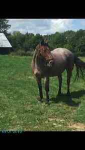 5 yr old strawberry roan Quarter Horse mare