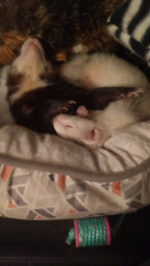 Two ferrets and accessories.