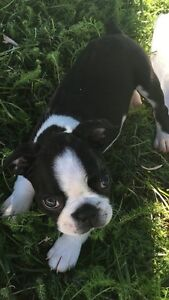 Last Male Boston Terrier 8 Weeks Old Ready To go
