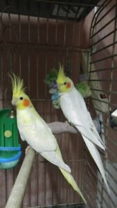 pair of lutino cockatiels - almost 1 year old